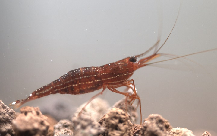 Caridina glaubrechti red orchid